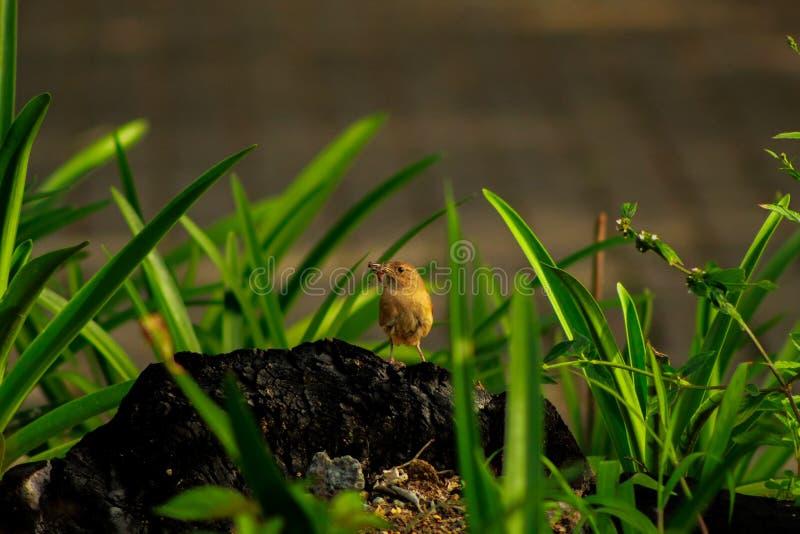 Chochin拉丁美洲各国的人,在一根被烧的树干栖息的一点鸟 免版税图库摄影