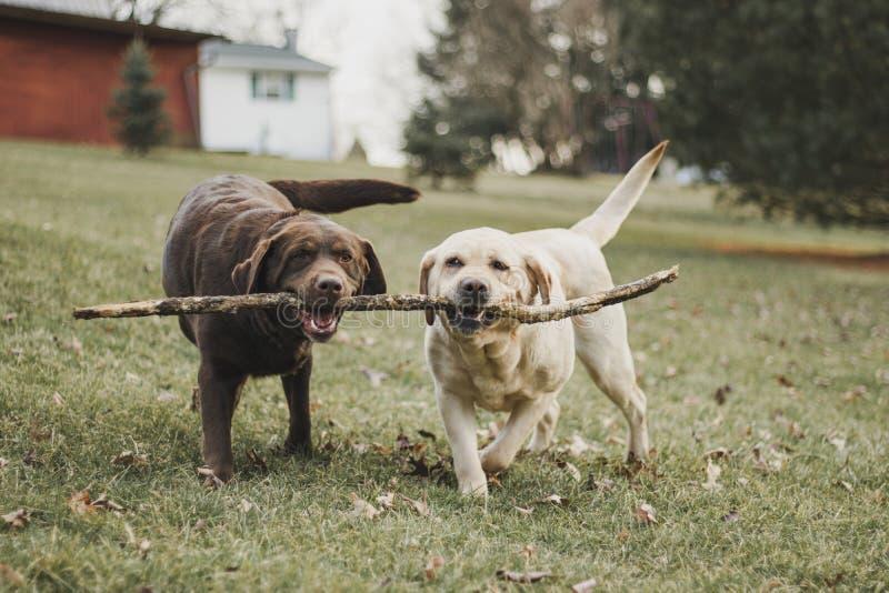 Chocolade en gele Labradorzusters die voor een stok vechten stock afbeelding
