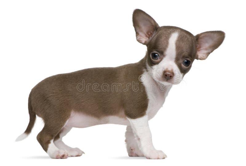 Chocolade en wit Chihuahua puppy, 8 weken oud royalty-vrije stock foto's