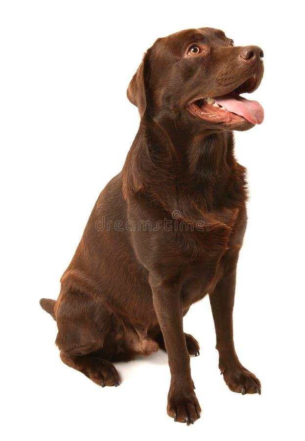 Chocolade Labrador stock fotografie