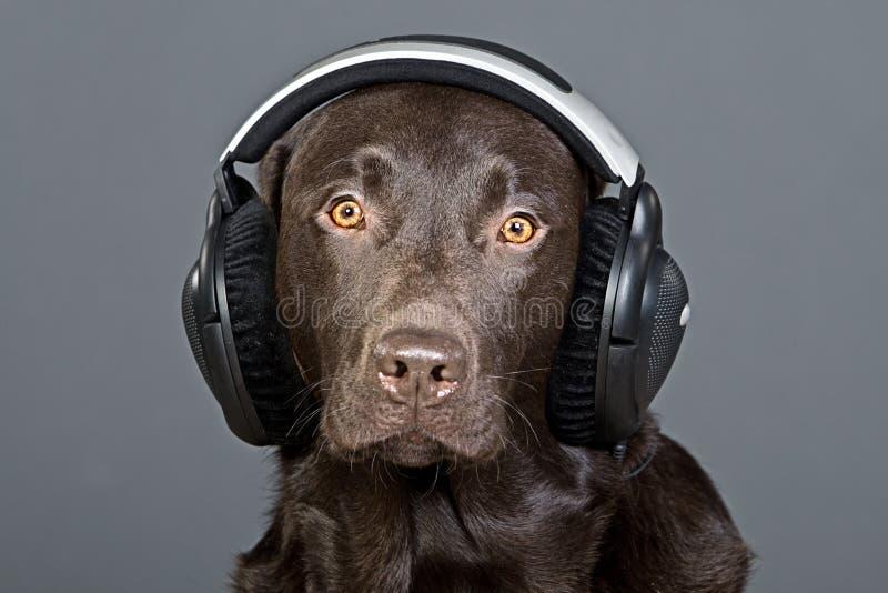 Chocolade Labrador dat aan zijn Hoofdtelefoons luistert royalty-vrije stock fotografie