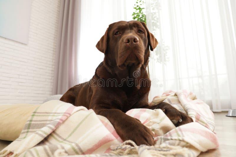 Chocolade labrador retriever op huisdierenhoofdkussen royalty-vrije stock afbeeldingen