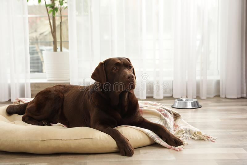 Chocolade labrador retriever op huisdierenhoofdkussen royalty-vrije stock foto
