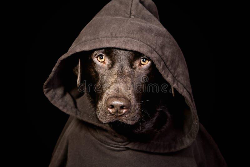 Chocolat de intimidation Labrador dans le dessus à capuchon photographie stock