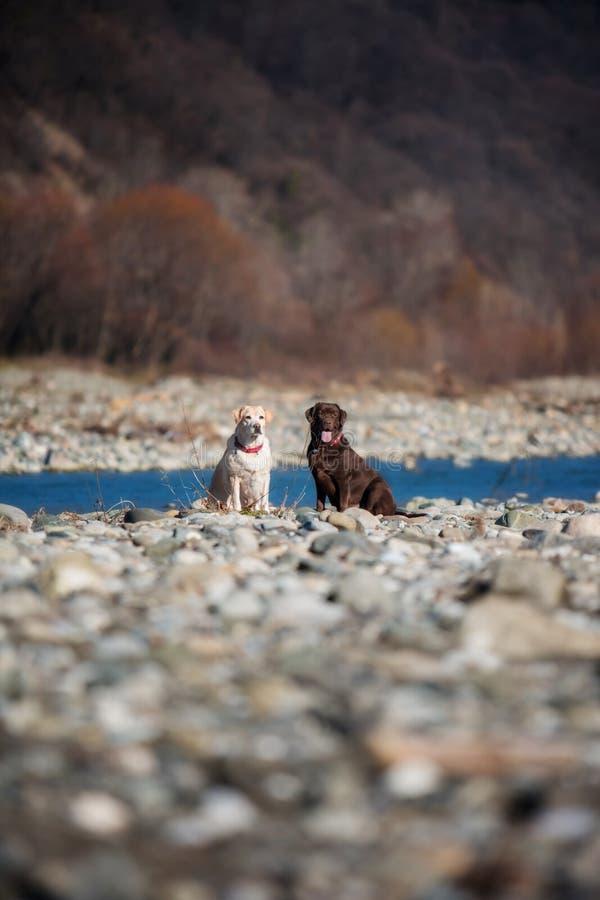 Chocolat et faon Labrador sur le fond de la nature image stock