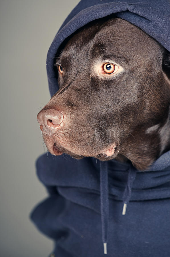 Chocolat Labrador dans le dessus à capuchon photographie stock libre de droits