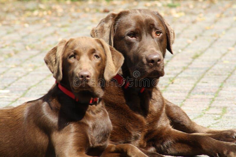 Chocolat Labradors кладя во двор стоковые фотографии rf