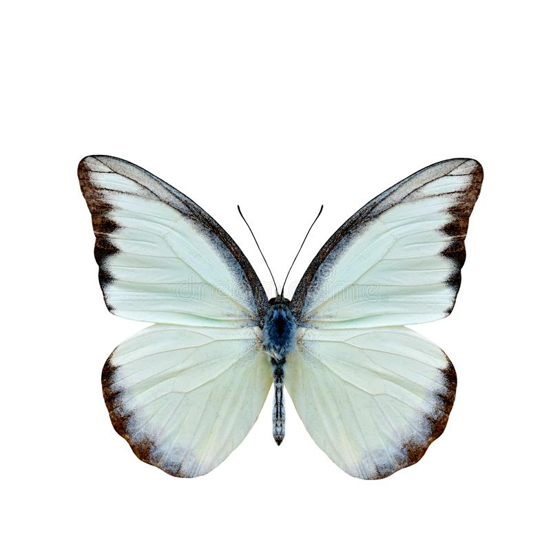 Chocolate Albatross Appias lyncida vasava fine pale green to w. Hite butterfly upper part wings in natural color details isolated on white background royalty free illustration