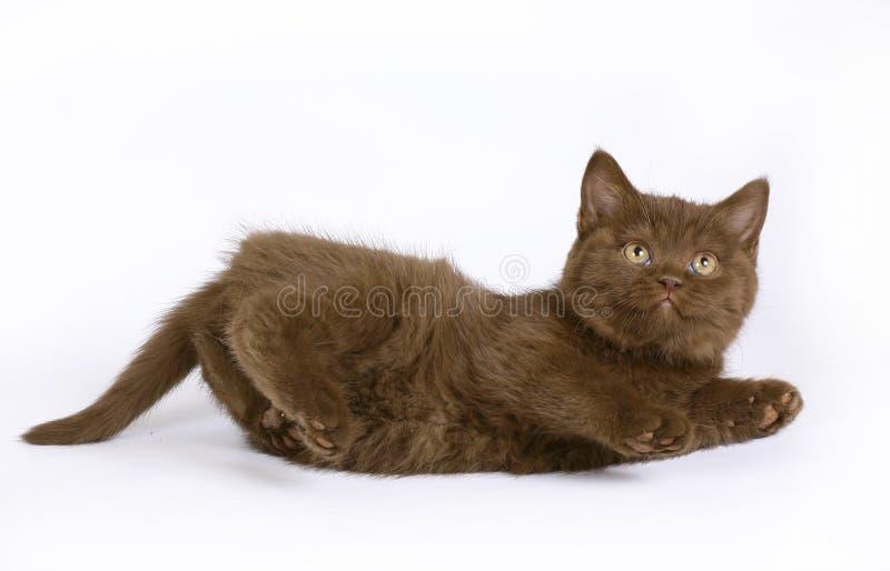 Chocolate British Kitten Stock Photos