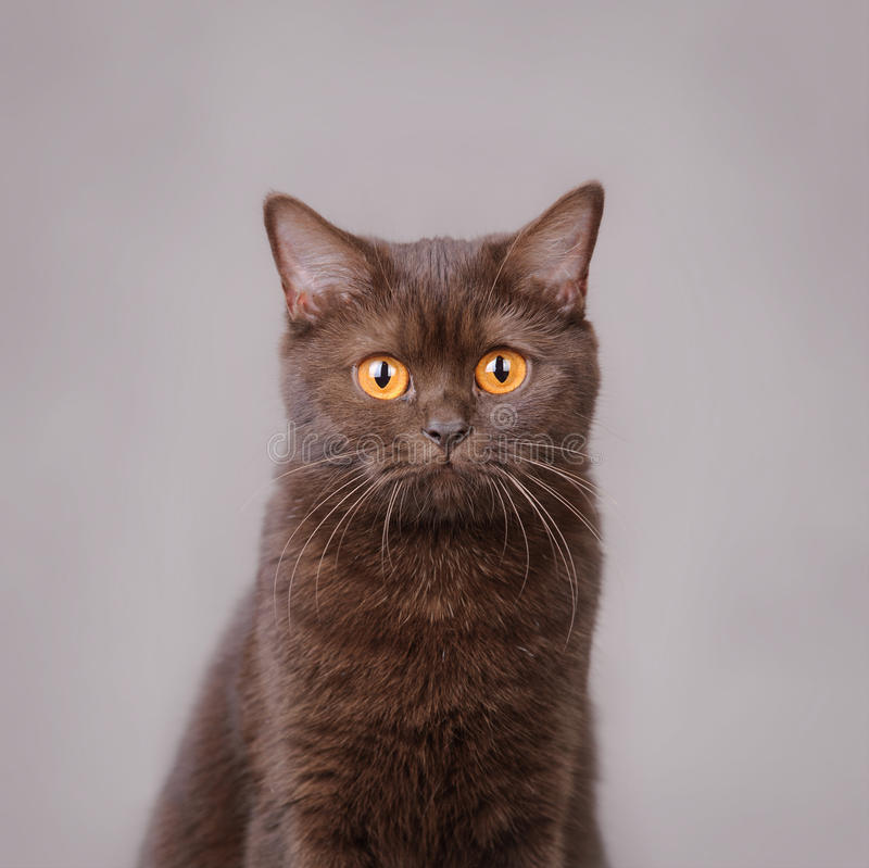 Download Chocolate British Shorthair Cat Stock Image - Image of head, funny: 22996807