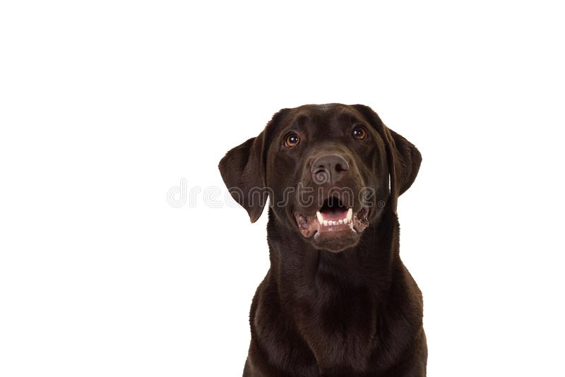 A Chocolate brown female  labrador isolated in white. Chocolate brown female labrador isolated in a white background royalty free stock photography