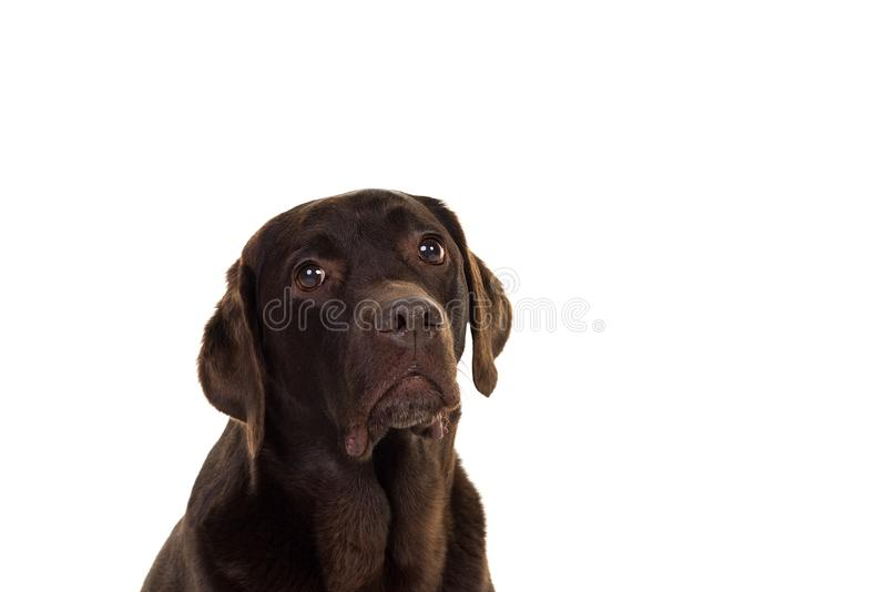 Chocolate brown female labrador  isolated in white. Portrait of a chocolate brown female labrador isolated in white background royalty free stock photography