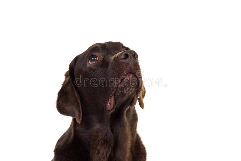 Chocolate brown female labrador  isolated in white. Portrait of a chocolate brown female labrador isolated in white background stock image