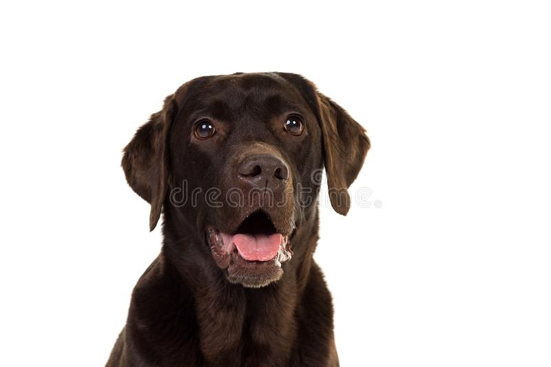 Chocolate brown female labrador  isolated in white. Portrait of a chocolate brown female labrador isolated in white background royalty free stock photos