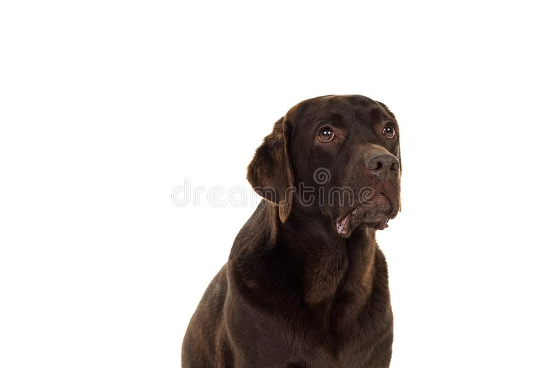 Chocolate brown female labrador  isolated in white. Portrait of a chocolate brown female labrador isolated in white background stock photography