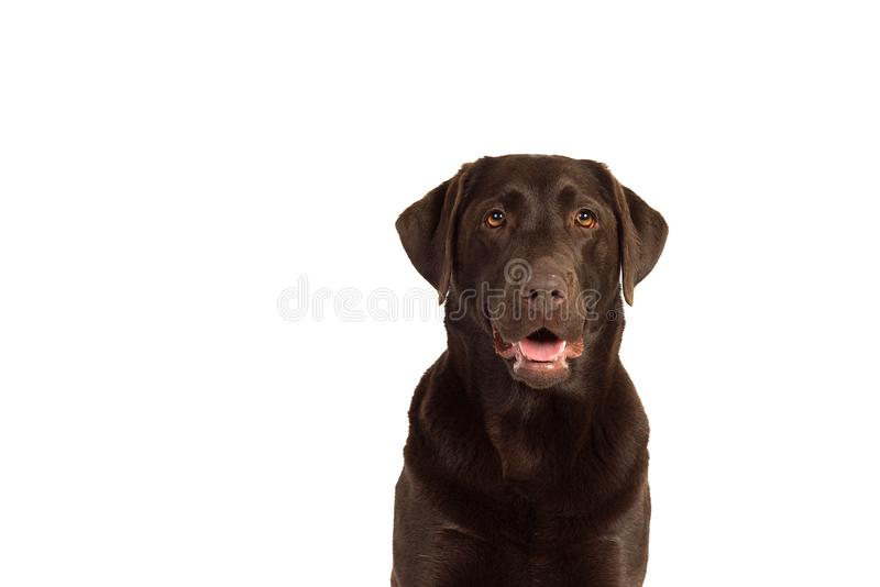 A Chocolate brown labrador isolated in white. Chocolate brown female labrador isolated in a white background royalty free stock photo