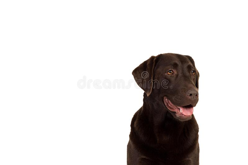 A Chocolate brown labrador isolated in white. Chocolate brown female labrador isolated in a white background royalty free stock photography