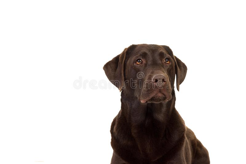 Chocolate brown labrador isolated in white. Chocolate brown female labrador isolated in a white background royalty free stock photography