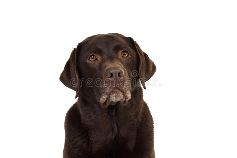 Chocolate brown labrador isolated in white. Chocolate brown male senior labrador isolated in white royalty free stock image