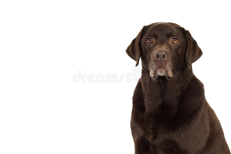 Chocolate brown labrador isolated in white. Chocolate brown male senior labrador isolated in white royalty free stock photos