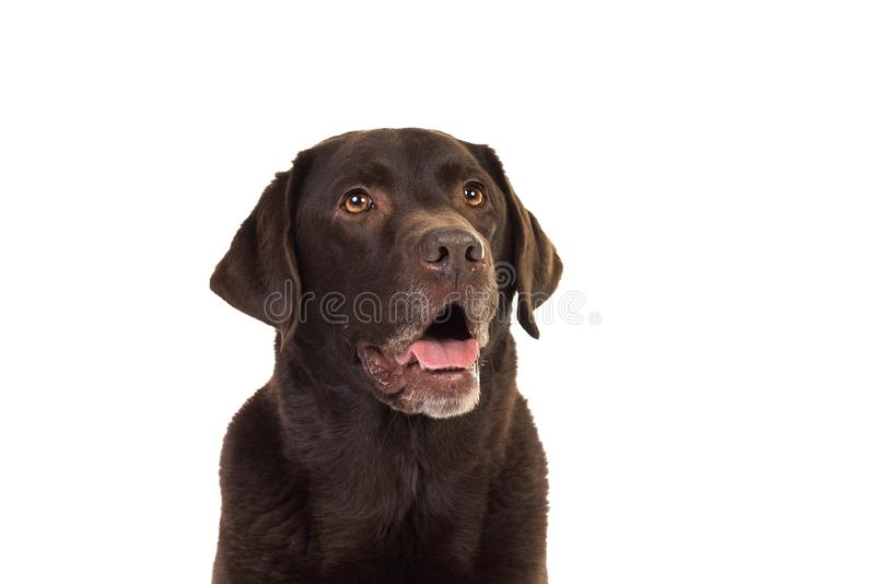 Chocolate brown labrador isolated in white. Chocolate brown male senior labrador isolated in white stock photos