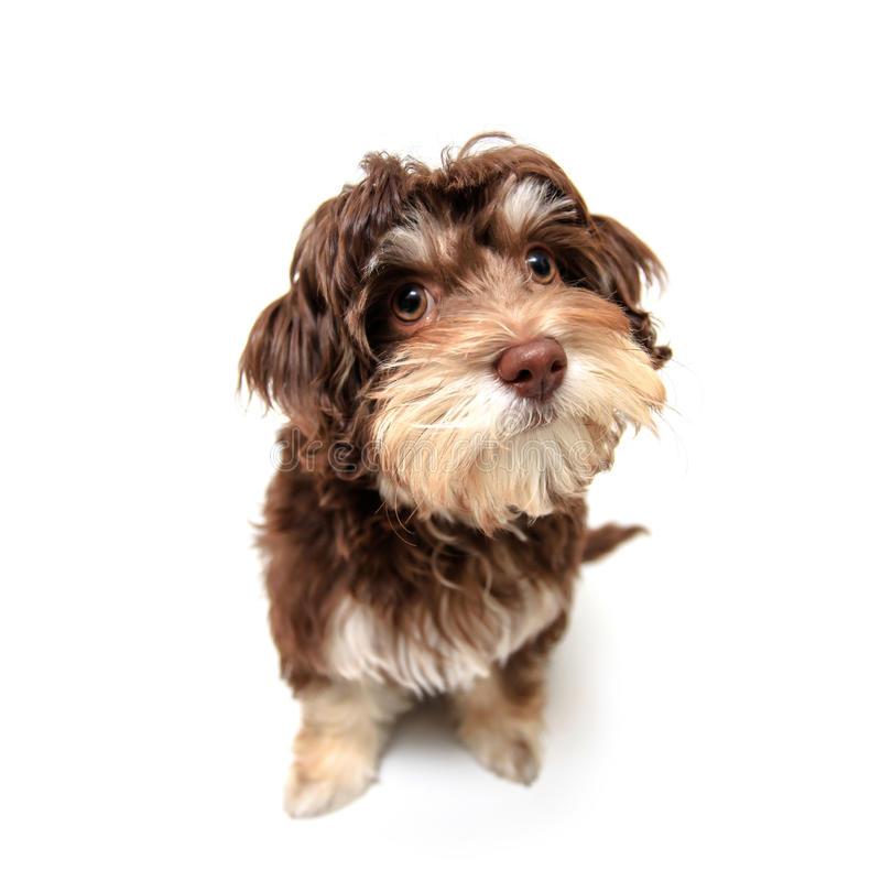 Download Chocolate Brown Puppy On Isolated Background Stock Photo - Image: 25846834