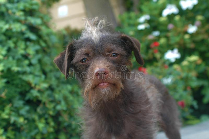 Chocolate Brown Wire Haired Terrier female Mix breed sad pup stock photos