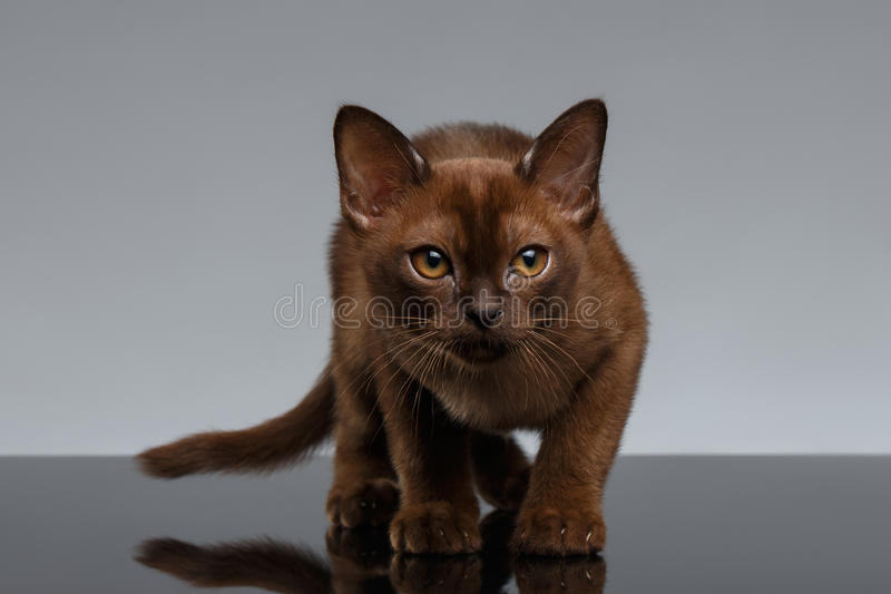Chocolate Burma Cat Looking in Camera on Gray. Background royalty free stock image