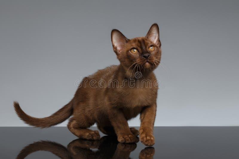 Chocolate Burma kitten crouching on Gray royalty free stock photos