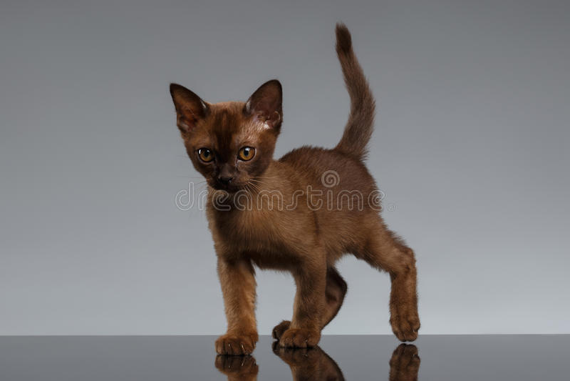 Chocolate Burma kitten Looking in Camera on Gray stock photo