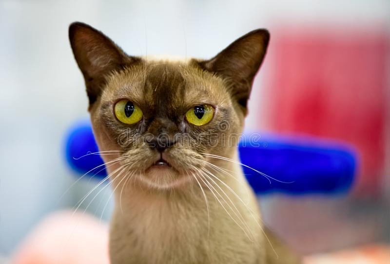 Chocolate Burmese Cat with  gold eyes portrait close-up stock images