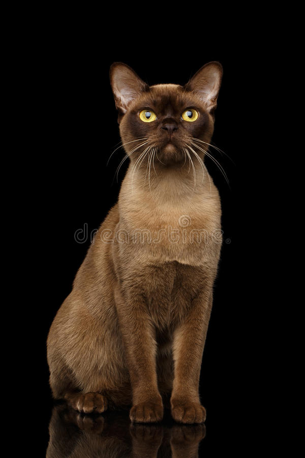 Chocolate Burmese Cat on isolated black background. Adorable Burmese Cat with Chocolate fur color, Sits on isolated black background with reflection stock photography
