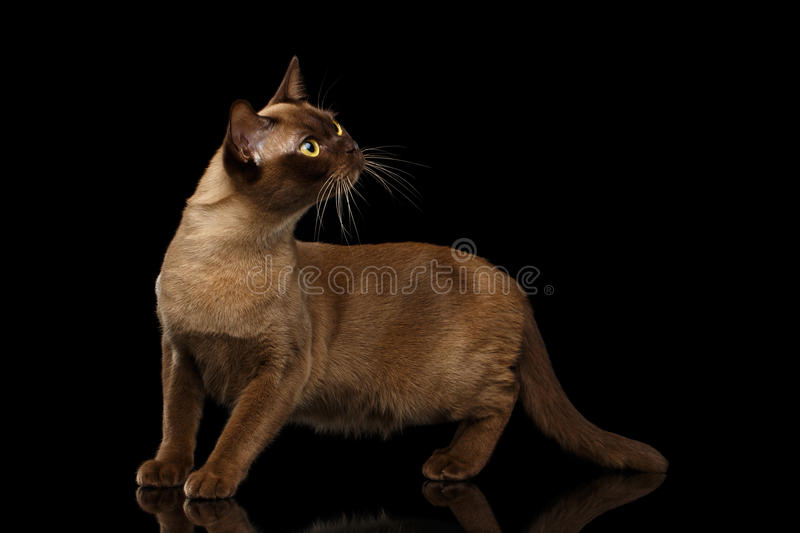 Chocolate Burmese Cat on isolated black background. Adorable Burmese Cat with Chocolate fur color, stretched head on isolated black background with reflection stock photos