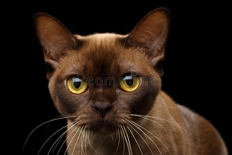 Chocolate Burmese Cat on isolated black background. Close-up portrait of Brown Burmese Cat with Chocolate fur color and yellow eyes, Curious Looking in Camera stock photo