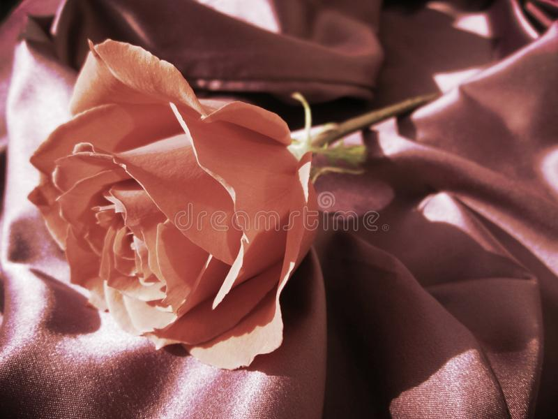 A Chocolate Colored Rose on Silk. royalty free stock photos