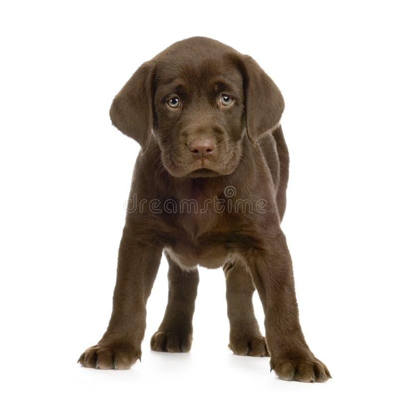 Chocolate do retriever de Labrador fotografia de stock royalty free