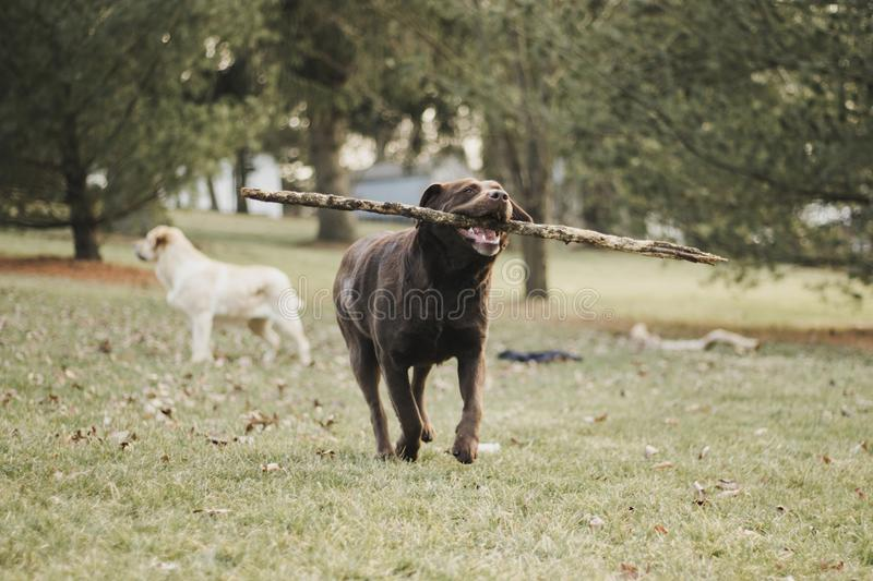 Chocolate, female, Labrador Retriever playing in the backyard stock photography