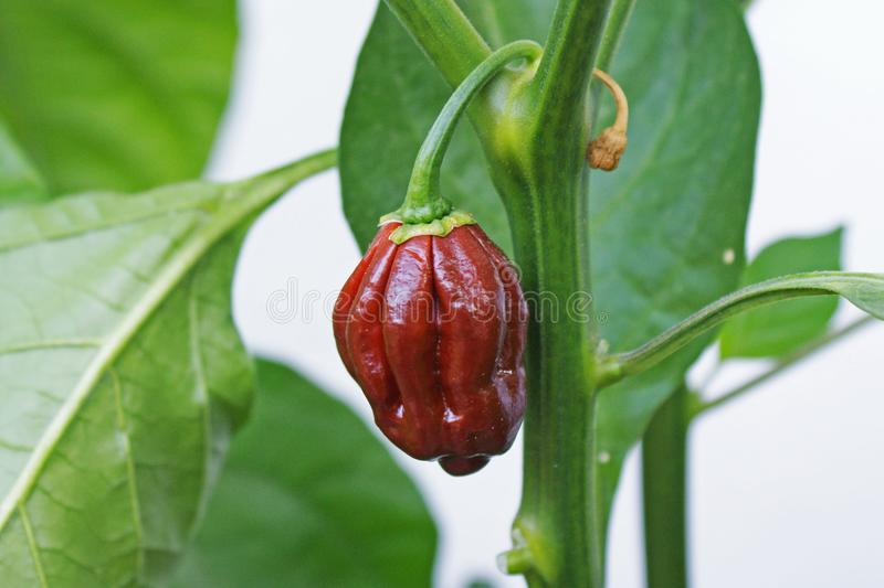 Chocolate hot chile pepper on a stem royalty free stock photography