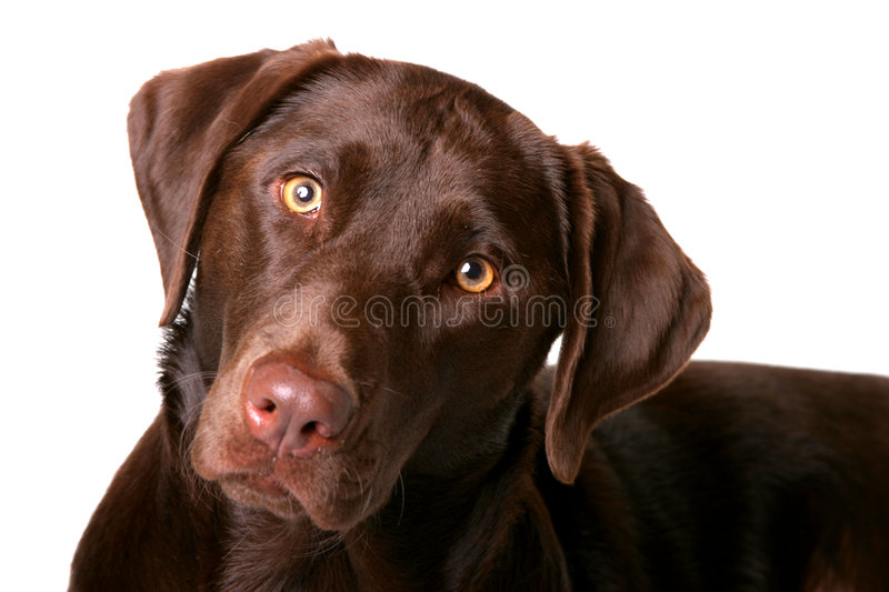 Download Chocolate Lab 1 stock image. Image of curious, canine, puppy - 54517
