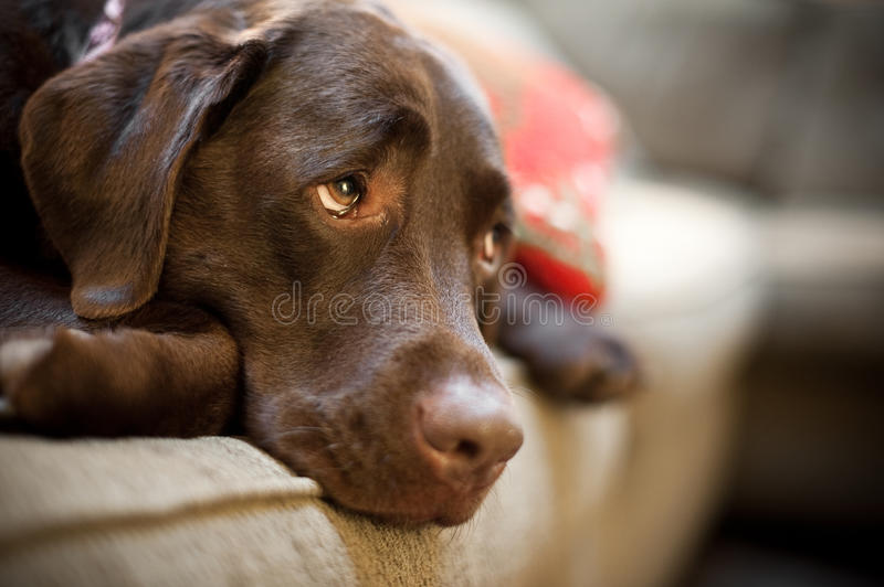 Chocolate Lab stock photo
