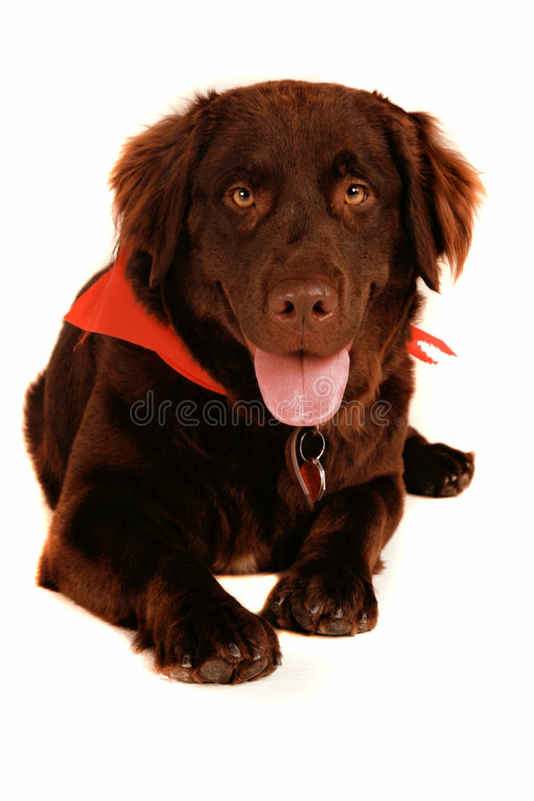 Chocolate Lab stock photos