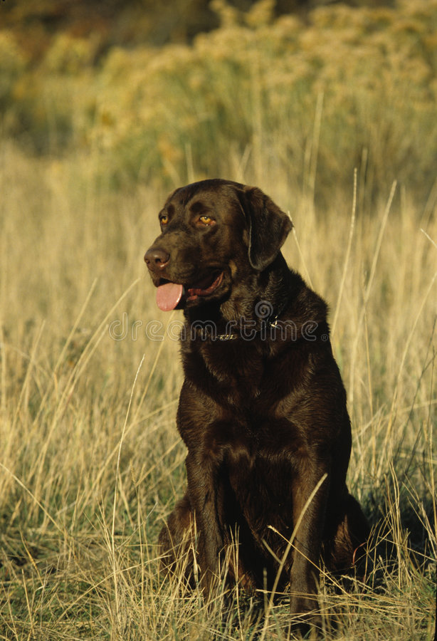 Chocolate Lab stock photography