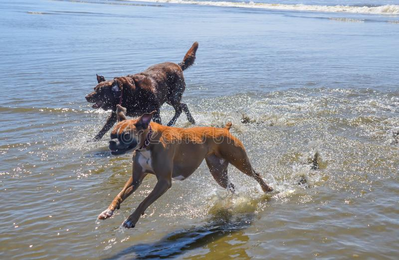 Chocolate lab and boxer running in ocean beach waters stock photography
