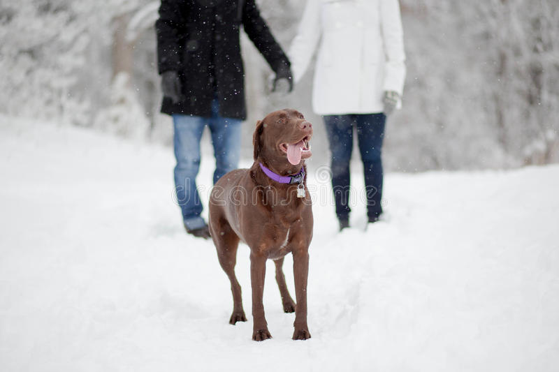 Chocolate lab with couple royalty free stock photos