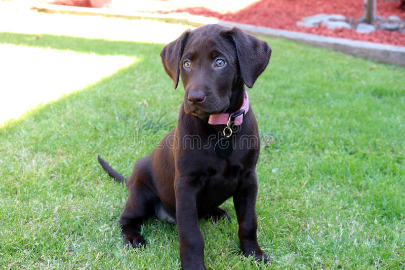 Chocolate Lab puppy royalty free stock image
