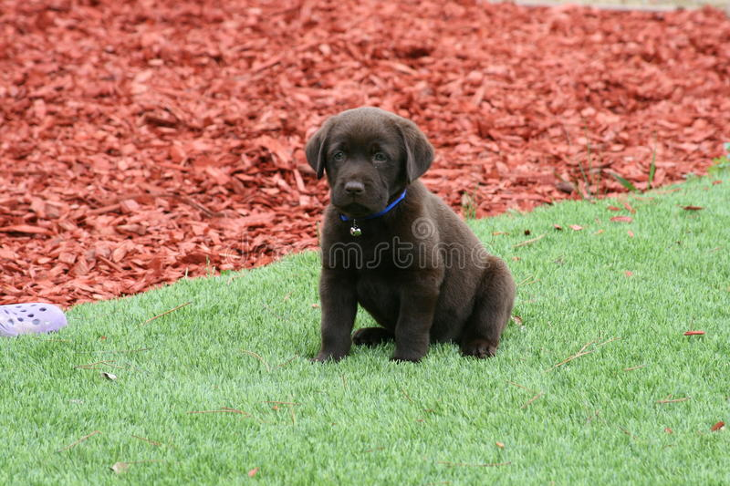 Chocolate Lab Puppy on Lawn stock images