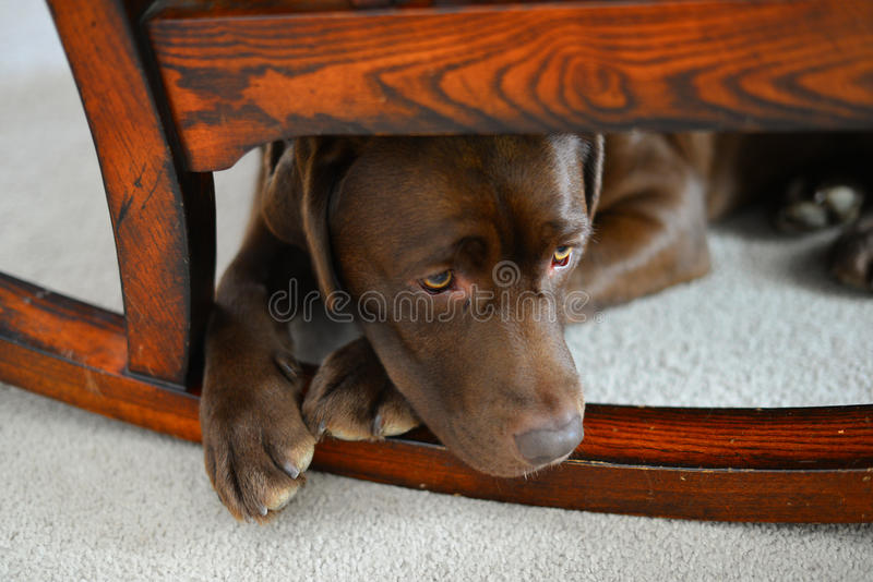 Chocolate Lab puppy lying under rocking chair stock image