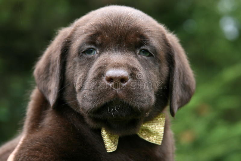 Chocolate Lab Puppy Wearing Bow Tie. Chocolate Labrador Retreiver puppy wearing gold bow tie stock images