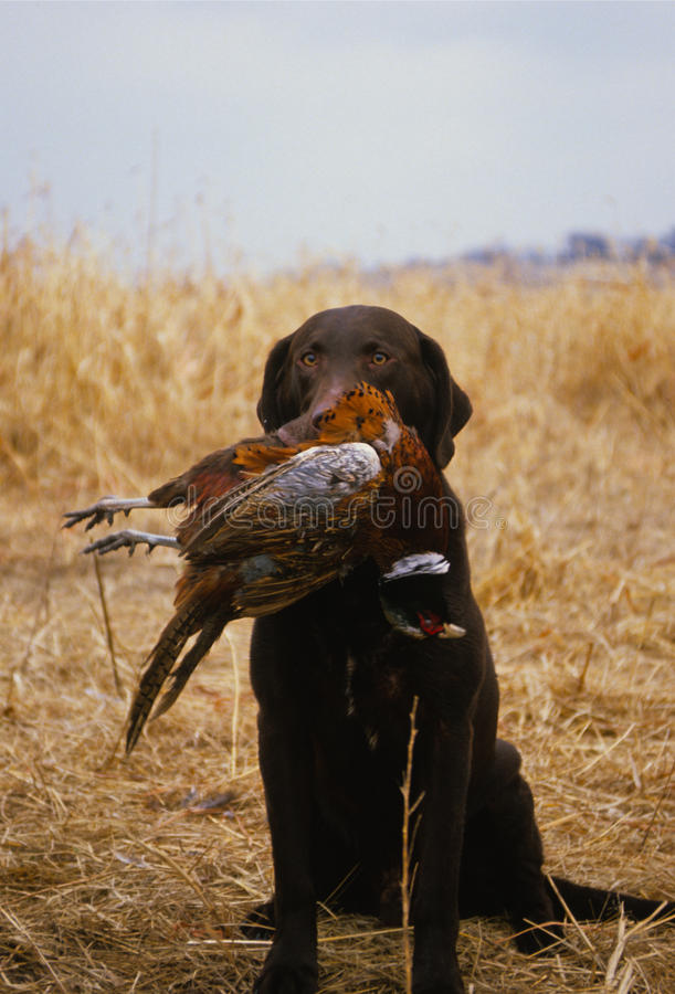 Free Chocolate Lab With Pheasant Royalty Free Stock Photography - 9771317