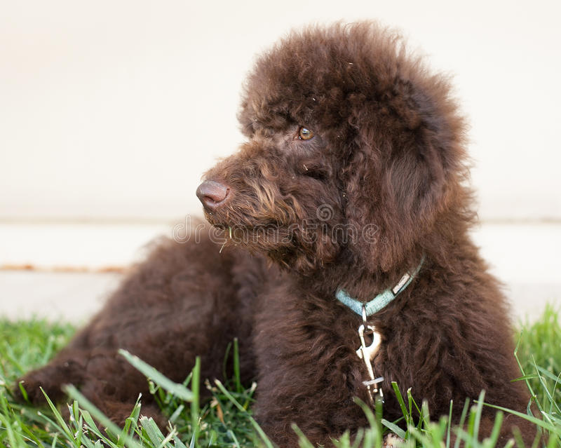 Chocolate labradoodle puppy dog lays on the grass looking to his right stock image